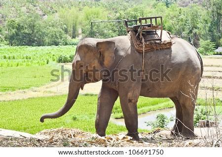 Thai elephant.