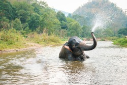 Thai elephant Daily bath and sprayed water in nature wild. northern part of thailand