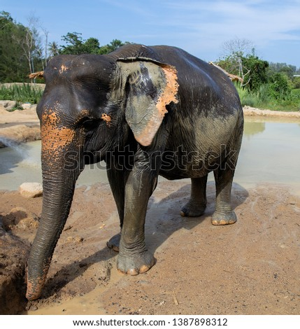 Thai elephants are primarily threatened by loss of habitat, habitat degradation, fragmentation and poaching. #1387898312