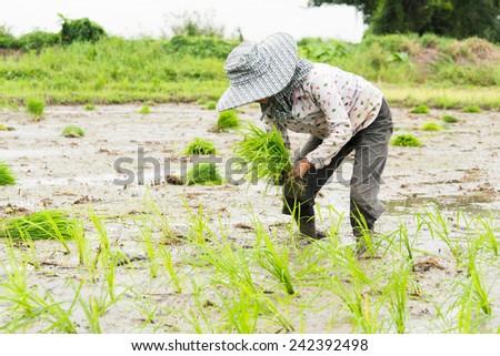 Thai farmer planting on the paddy rice farmland, South of Thailand #242392498