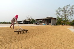 Thai Farmer Working For Drying Paddy Rice By Sunlight At Countryside In Thailand