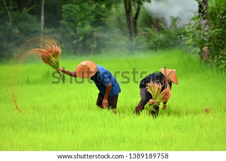 Thai farmer working in the rice field Asian farmer transplant rice seedlings in rice field, Farmer planting rice in the rainy season.