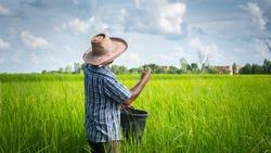 thai farmer working on rice field applying fertilizer