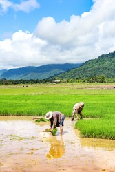 Thai farmers are planting rice in the paddy field with green mountains and white big cloud over blue sky in the background.