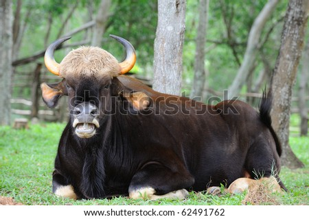 Thai gaur - stock photo