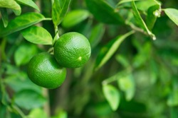 Thai green lemon Tree.