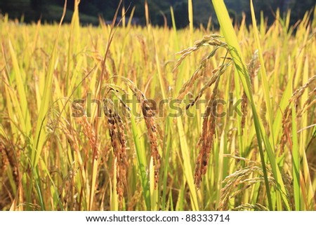 Thai jasmine rice in filed. close-up shot - stock photo