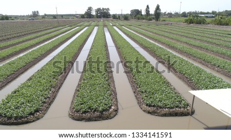 Thai kale plots Offering high-angle images