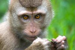 Thai monkey (Macaque) chewing on grass, Koh Samui, Thailand.