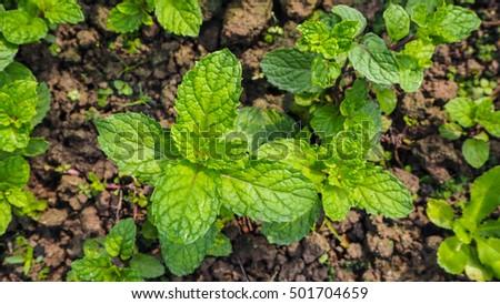 Free photos Thai Peppermint, Kitchen Mint, Marsh Mint, Mentha ...