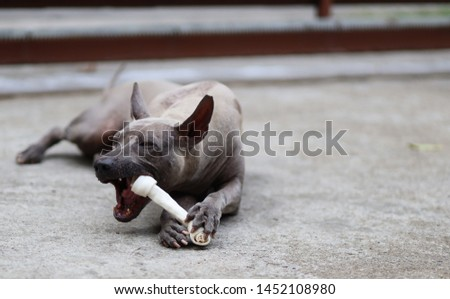 Thai Ridgeback eating delicious bones #1452108980