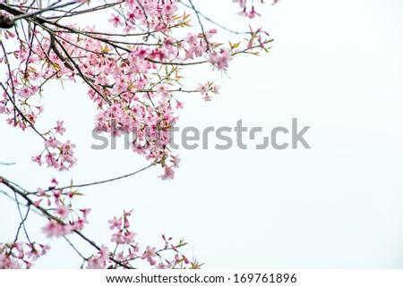 Thai Sakura pink flower in ChiangRai, Thailand #169761896