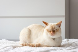 Thai (Siamese) cat with red ears and nose dozes or sleeps sitting on a white bedspread on the bed near the dresser.