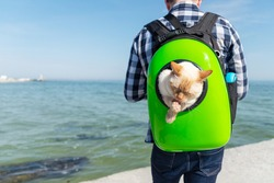 Thai (Siamese) domestic cat red point licks its paws while sitting in a backpack with the owner on the back walking near the sea close-up. Copy space.