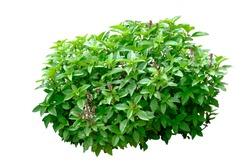 Thai Sweet Basil plant isolated on white background,shrub