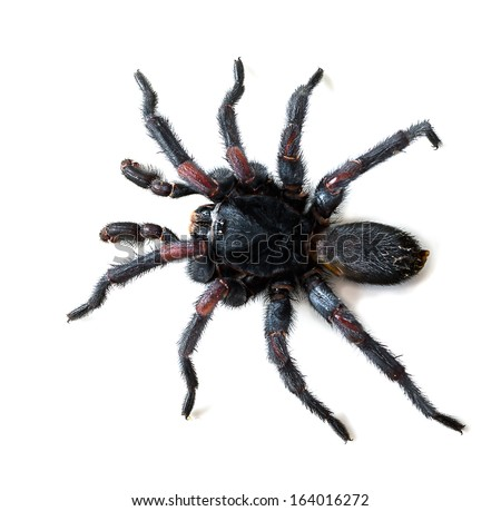 Thai Tarantula (Haplopelma albostriatum). This tarantula found throughout Thailand lives in burrows