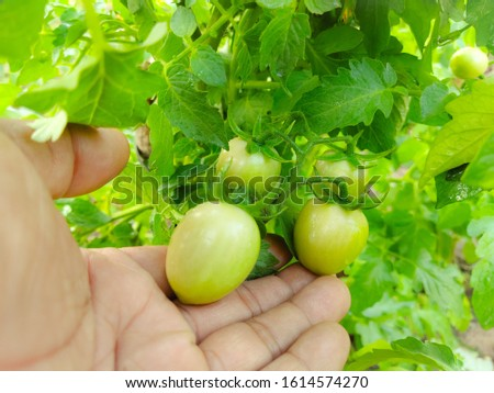 Thai Tomato varieties have name See Da or See Da Thip, Pink Tomato