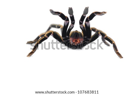 Thai Zebra Tarantula (Haplopelma albostriatum). This tarantula found throughout Thailand lives in burrows, is fast and quick to bite.