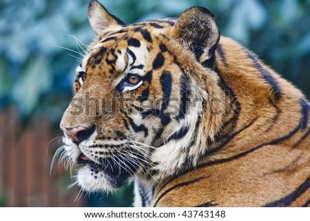 Thailand, Bangkok, Bangkok zoo, Bengal tiger (Panthera tigris)