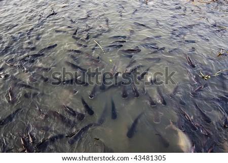 Thailand, Bangkok, Chao Phraya river, catfish (Ictalurus melas)