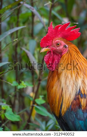 Free Photos Thailand Bantam Chicken Color Go For The Food