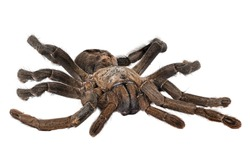 Thailand Big Black Tarantula, close up of spider with white background