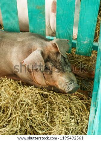 Thailand livestock show #1195492561