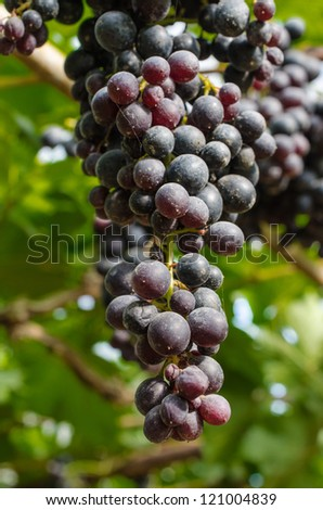 Thailand purple red grapes  on the vine.