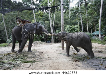 Thailand, Samui Island (Koh Samui), Namuang Waterfall, a female asian elephant tyed with a chain tries to reach her young son