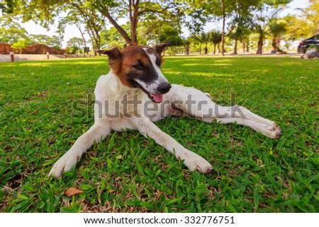 thailand wise intelligent pet dog friendly
