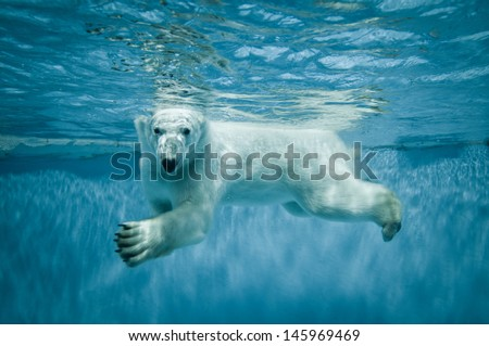 Stock Photo Thalarctos Maritimus (Ursus maritimus) commonly known as Polar bear swimming under water