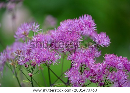 Thalictrum aquilegiifolium is a species of flowering plant in the buttercup family known by the common names Siberian columbine meadow-rue, French meadow rue, and greater meadow-rue. Photo stock ©