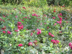 That is the image of mini redrose cultivation