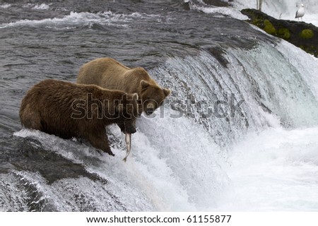That's My Fish - A grizzly bear looks at the fish that got away on the Brooks Falls in Katmai National Park, Alaska.