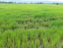 That sown farming Now spread around There were both self-sowing and hiring, but the distribution of the grain was uneven. And is more likely to yield less Black embroidery