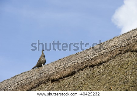 Thatched Pheasant on roof
