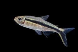 Thayeria boehlkei ( T. boehlkei ) is a species of characin fish, Amazon river, blackline penguin fish, hockey-stick tetra, penguin tetra  isolated on black background
