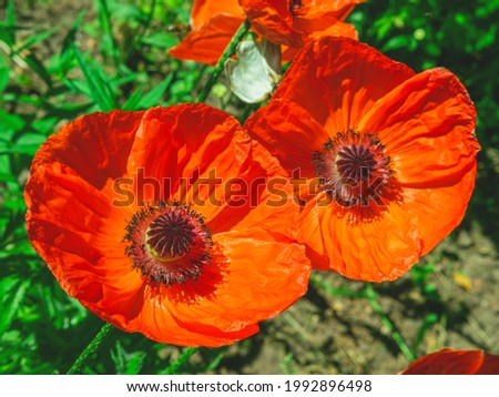 The above view of two beutiful red poppy flowers in the grass. The spring or summer natural background.