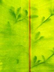The Abstract of Banana Leaf behind The Shadow of The Other Tree