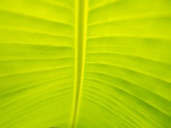 The Abstract of Banana Leaf behind The Sun Light