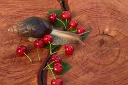 The Achatina snail crawling on a cherry tree stump with a crack and tree ring texture. Summer time.
