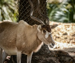 The Addax, also known as the white antelope and the screwhorn antelope, is an antelope native to the Sahara Desert.