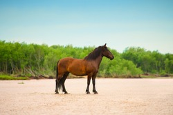 The adult bay horse is standing on the beach.
