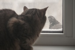 The adult cat is trying to hunt pigeons. The cat can not reach the birds from behind the glass. The animal pounces on the bird, but the window is blocked by the prey.