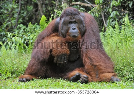 The adult male of the Dominant male orangutan with the signature developed cheek pads that arise ( testosterone surge). Background dark green foliage in the wild nature. Borneo. Indonesia.