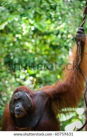 The adult male of the orangutan keeps for a branch and looks the party against green foliage of jungle.
