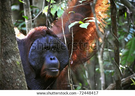 The adult male of the Orangutan. Portrait of the adult male of the orangutan in the wild nature. Island Borneo. Indonesia.