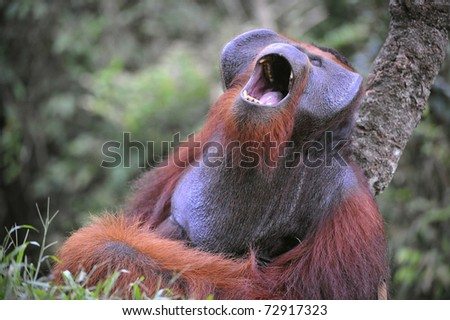 The adult male of the Orangutan. The orangutan yawns, widely having opened a mouth and showing canines. - stock photo