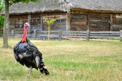 The adult male turkey, called tom. Wild turkey (Meleagris gallopavo) standing in the farmyard, on the grass.  In the background wooden rural buildings. Place for text