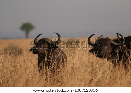 The African buffalo, also called the Cape buffalo (Syncerus caffer), a large Sub-Saharan African bovine. Picture from a safari in the savanna, natural environment of wildbuffalos.
